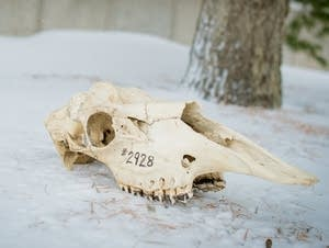 Researchers measured moose skulls to study the impact of climate change.
