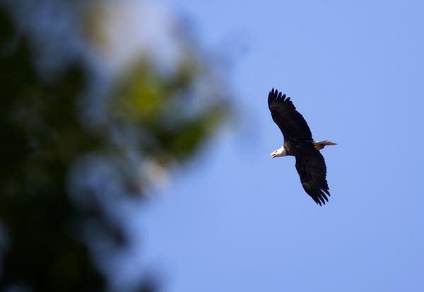 Adult eagle flying