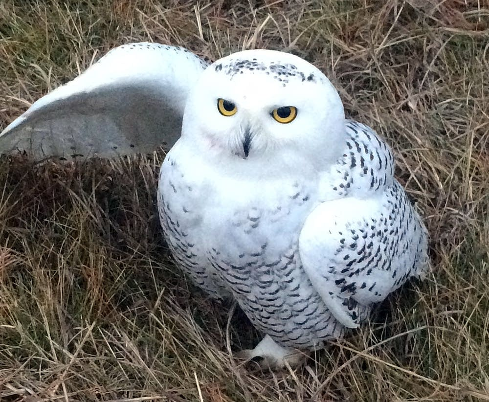 Mindy Kleeb found an injured snowy owl.
