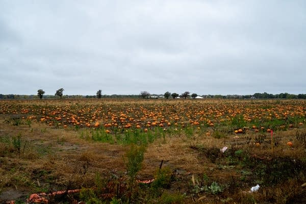 "Hundreds of pumpkins sit in a field that is the site of ""Project Hotdish."""