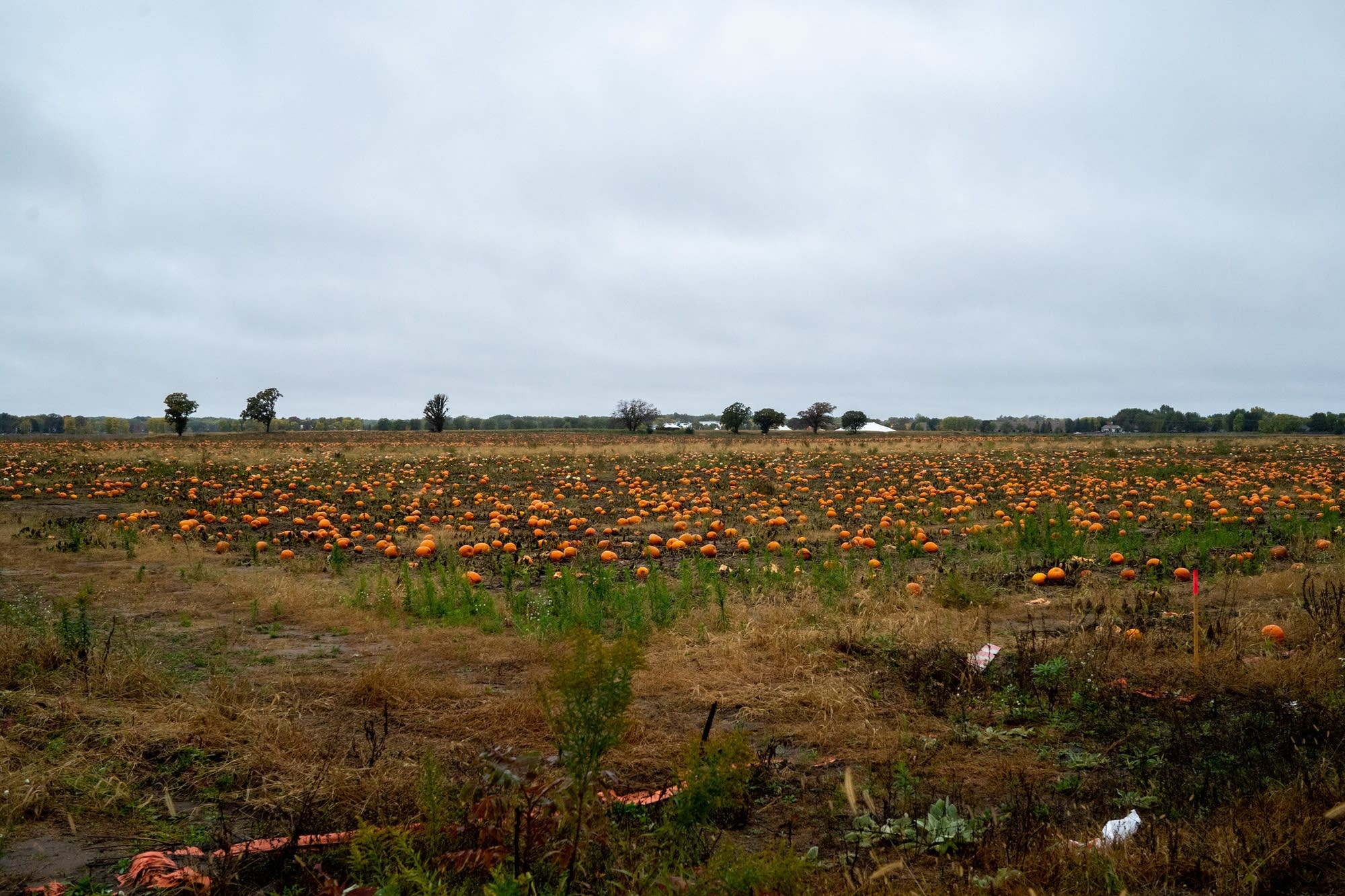 Hundreds of pumpkins sit in a field that is the site of