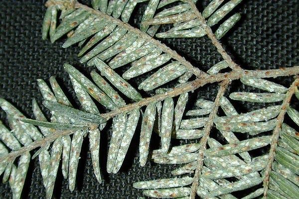 An infestation of elongate hemlock scales
