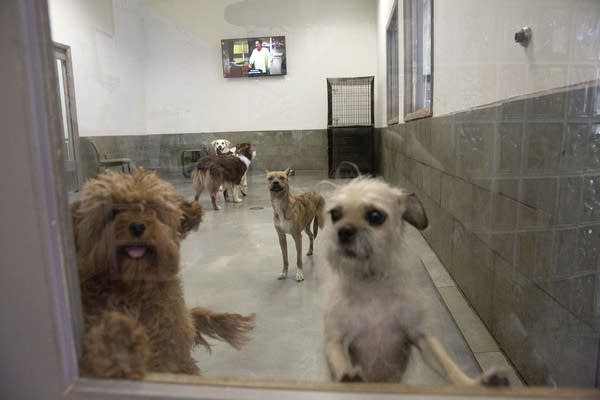 Two dogs stand against a door window as other dogs play in the background.