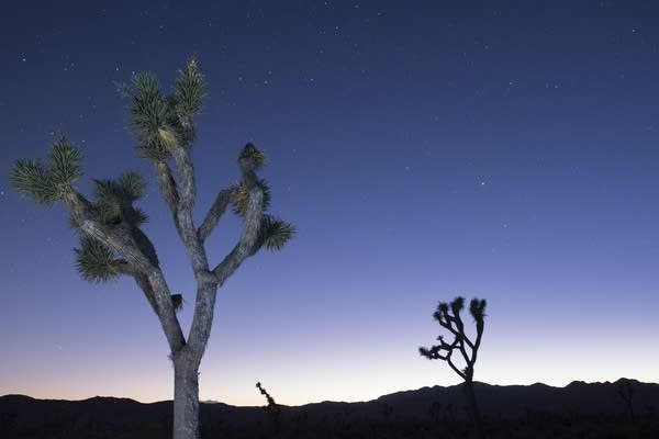 Joshua trees at Joshua Tree National Park in California.