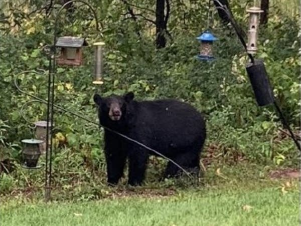 A photo of a black bear in North Oaks.