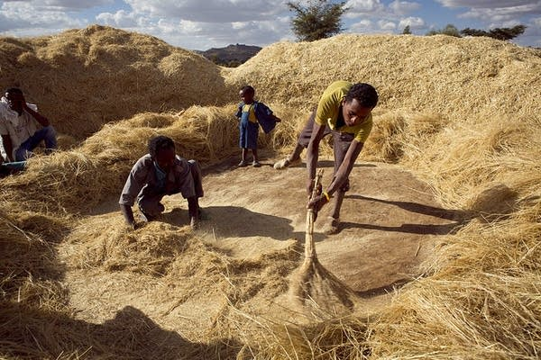 Sweeping up the Teff grains after threshing
