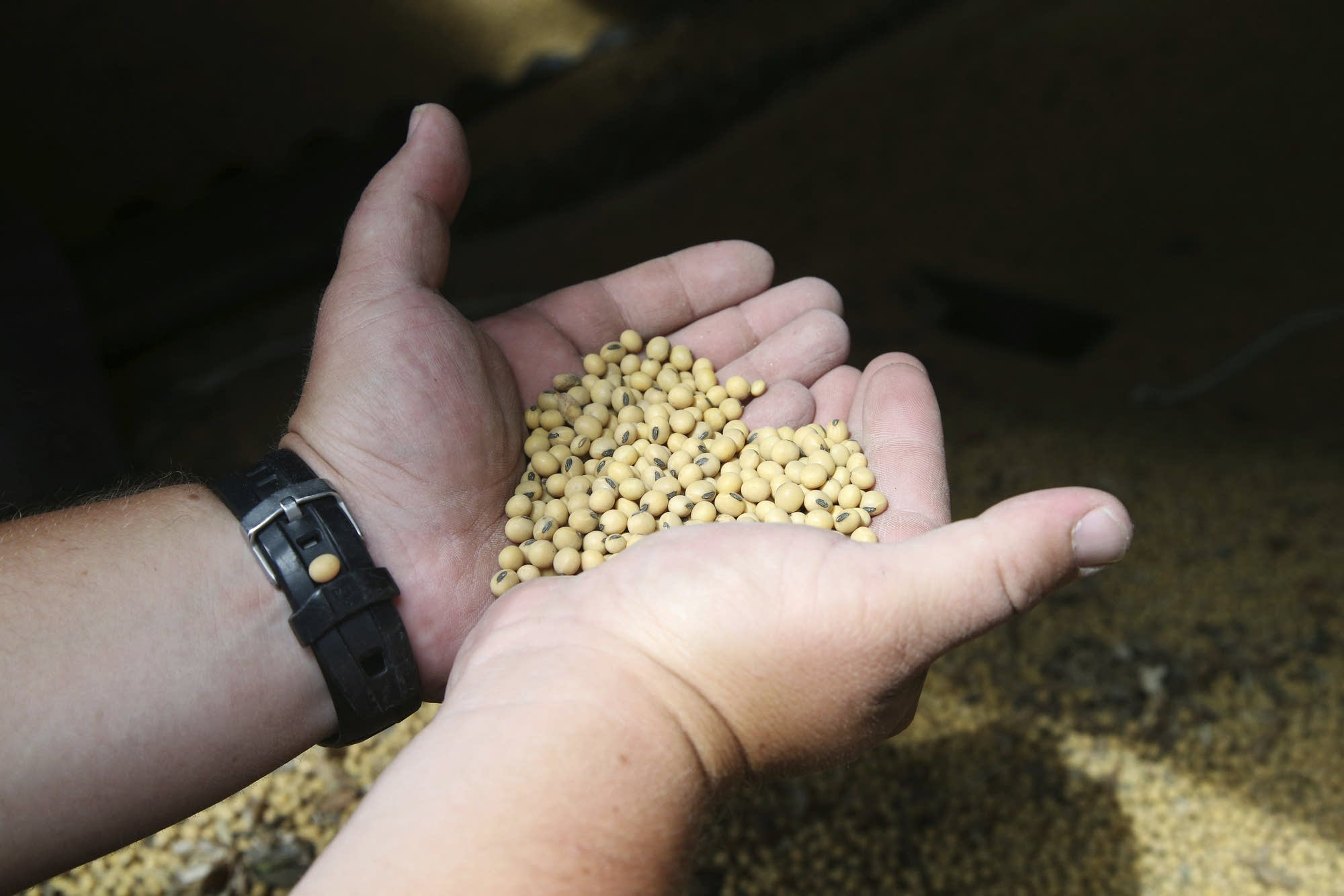 A farmer holds soybeans from the previous season's crop at his MN farm