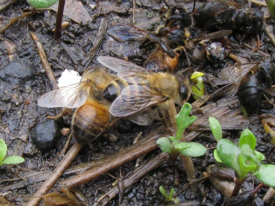 Bee allegedly killed by insecticide