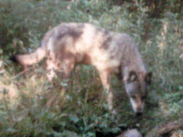 Wolf on trail camera