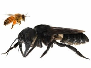 A Wallace's giant bee compared to a European honeybee.