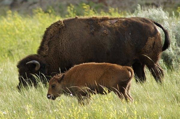 Bison with calf at Theodore Roosevelt National Park