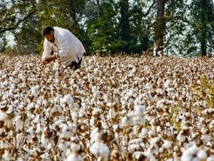 Michael W. Twitty picks cotton as part of his