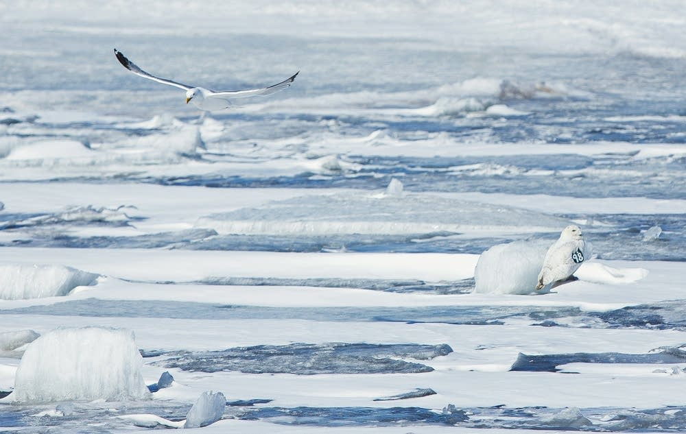 A snowy owl sits on the broken ice.