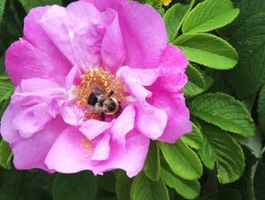 A bumble bee climbs into a rose