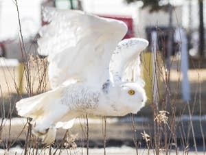 A snowy owl flies out of its transport carrier as Mariana Sosa watches.
