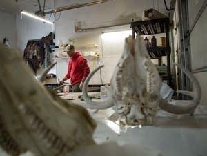 Tony Petrie works on skulls inside his Bemidiji, Minn. workshop.