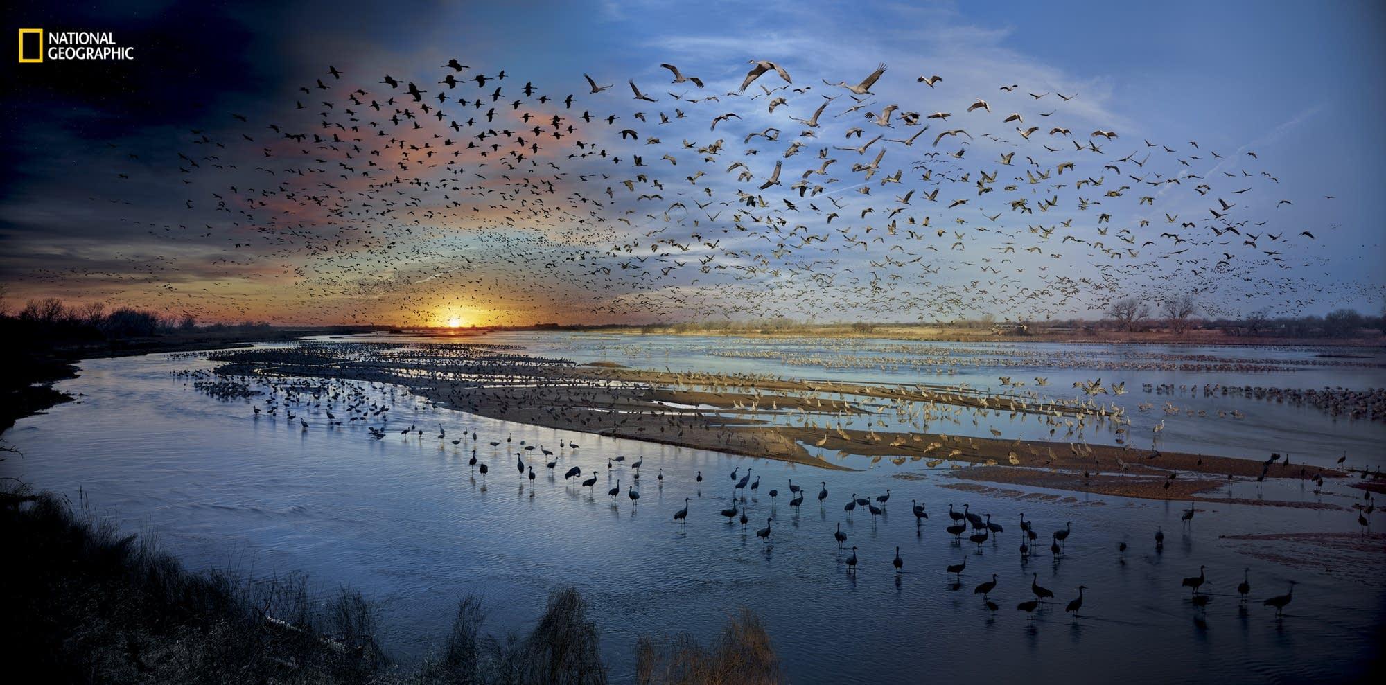 In spring, half a million sandhill cranes gather on the Platte River.