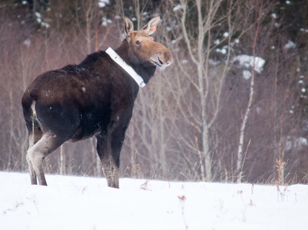 Collared moose
