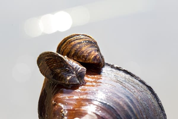 Two zebra mussels attached to a native mussel