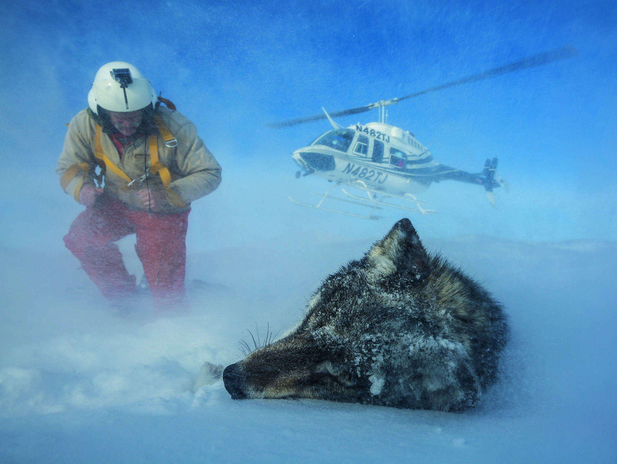 Biologist Doug Smith nears a tranquilized wolf
