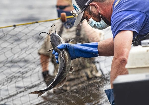 A commercial fisherman retrieves a catfish