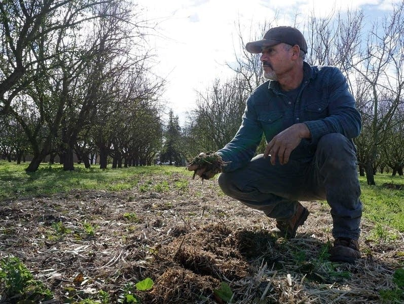 Jose Robles spreads mulch and compost under his almond trees