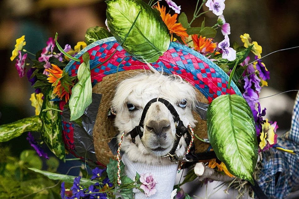 An alpaca competes in a 4-H costume contest