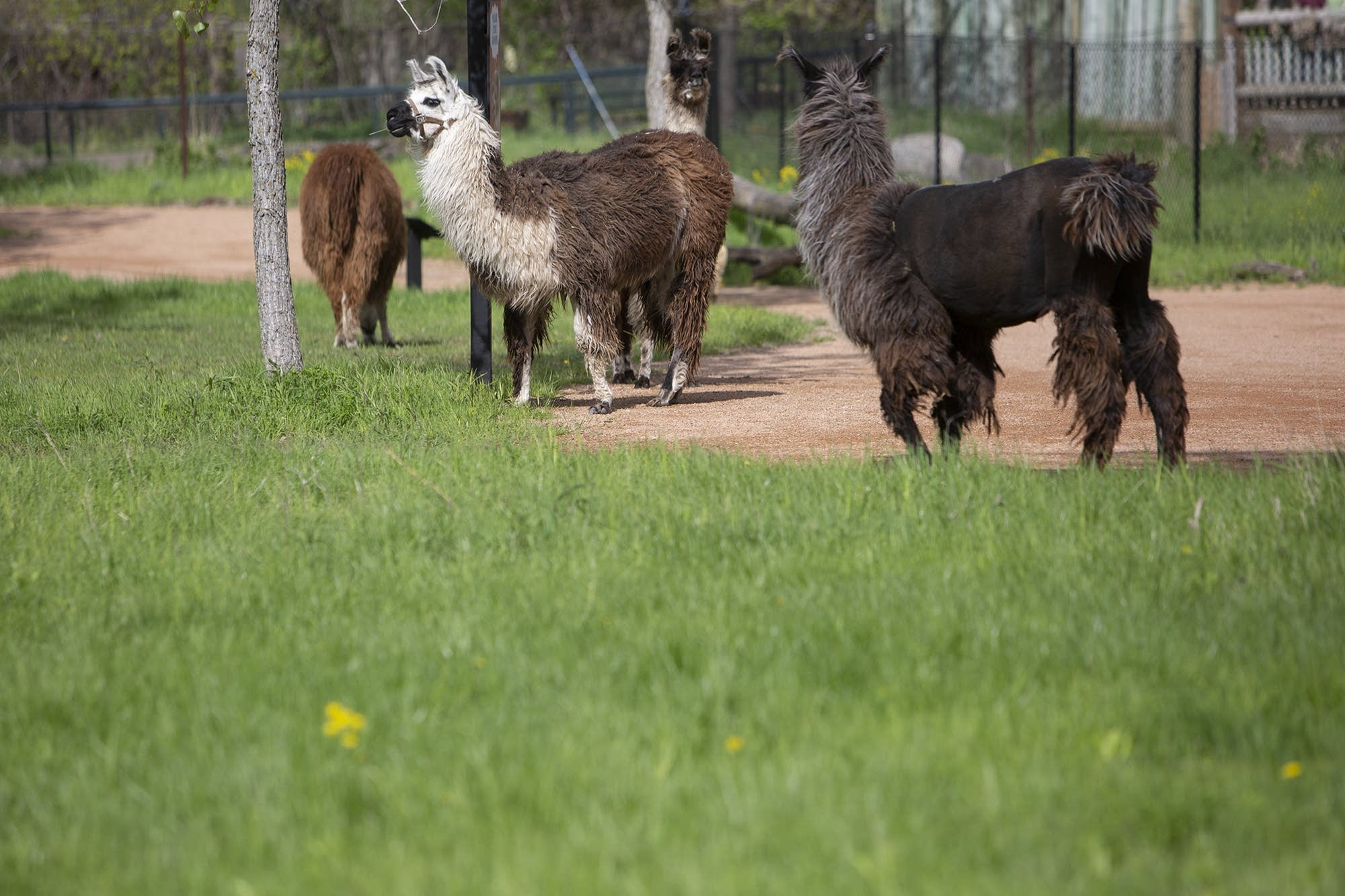 Llamas are domesticated South American herd animals.