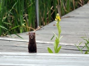 Hundreds of mink have already been found dead