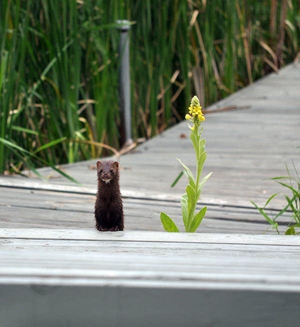 An american mink on Pike Lake