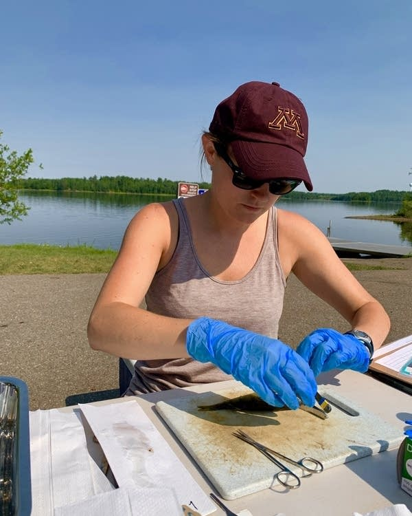 Testing a fish sample from a northeastern Minnesota lake
