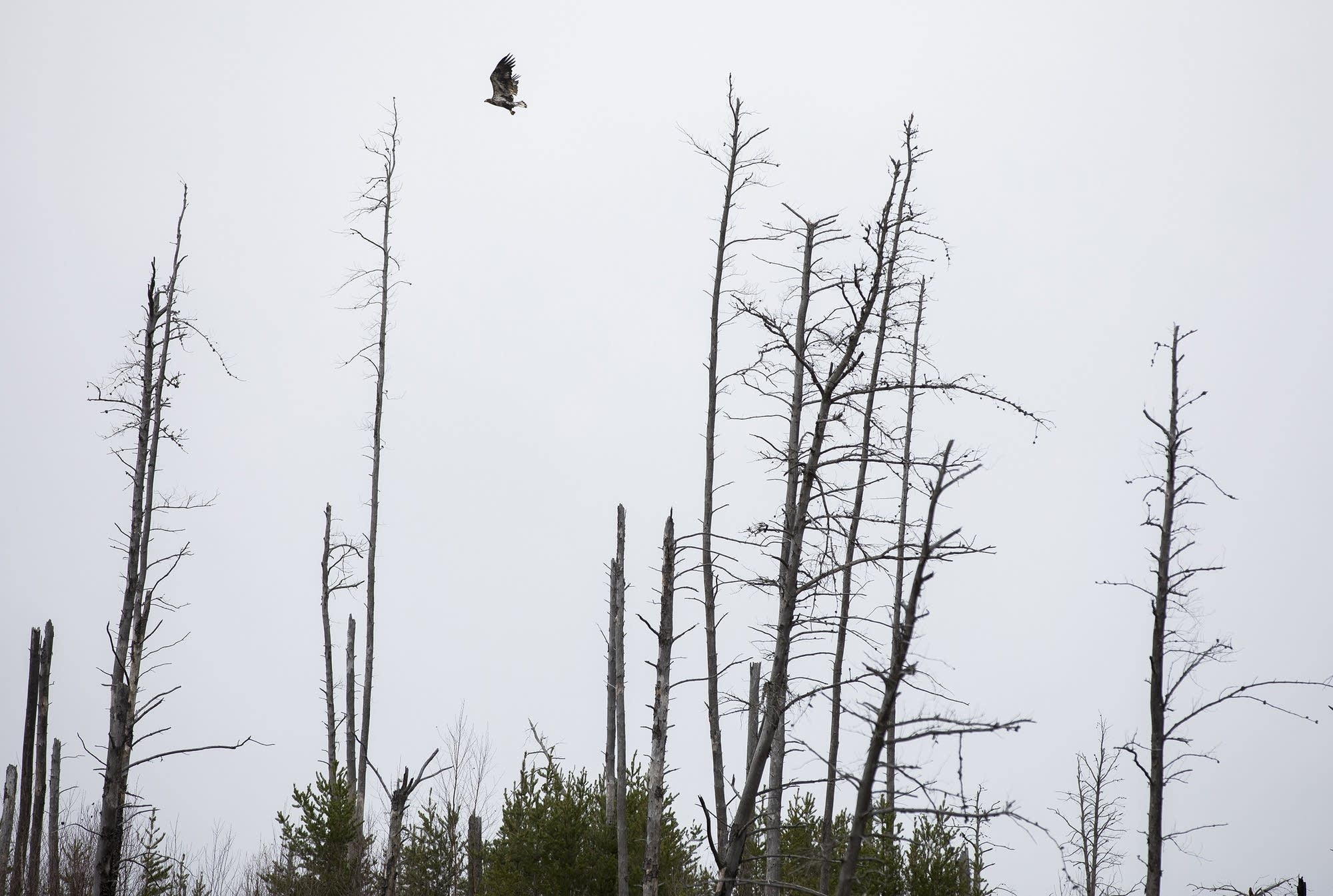 A hawk flies from one dead tree to another in an area hit hard by the fire
