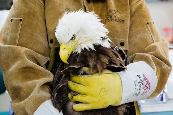 A bald eagle is held by a Raptor Center worker.