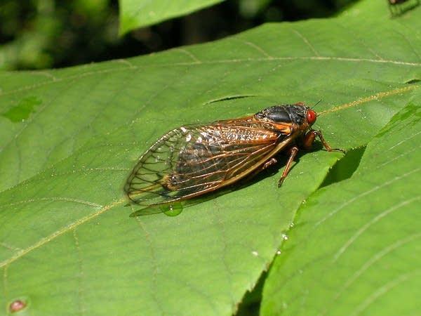 A cicada sits on a leaf.
