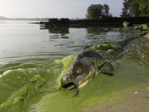 A catfish on the shore of algae-filled water in North Toledo, Ohio