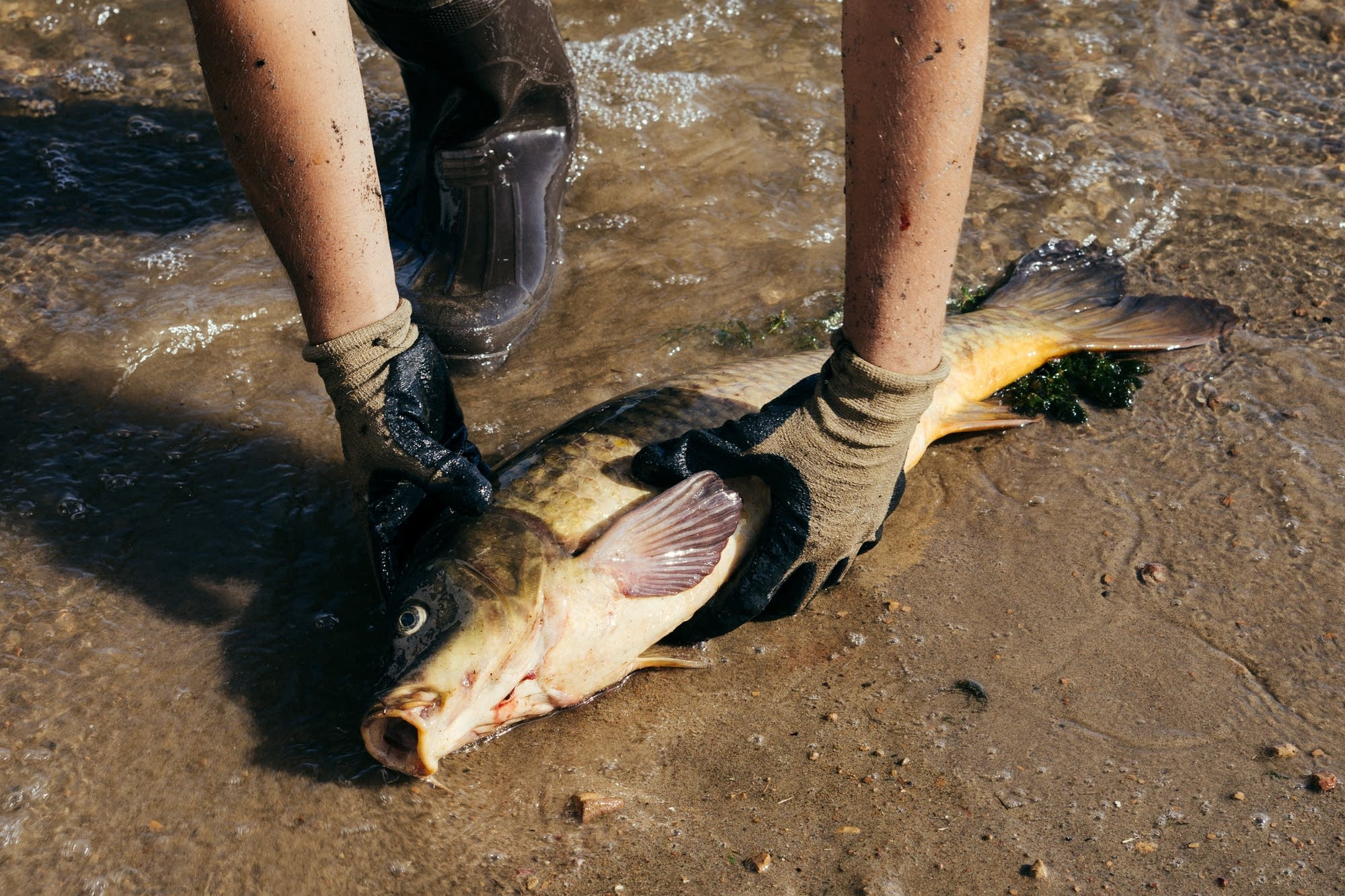 A Carp Solutions employees picks up a common carp from the shore.