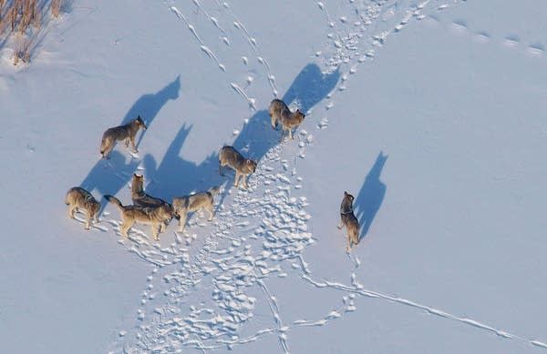 A pack of wolves on the ice at Voyageurs National Park.