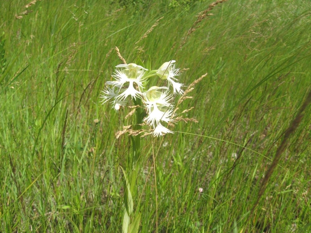Fringed prairie orchid