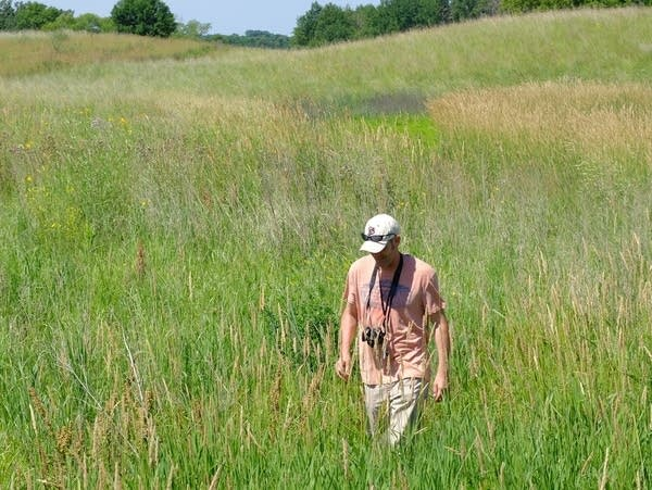 Anthony Cortilet looks for invasive Palmer amaranth