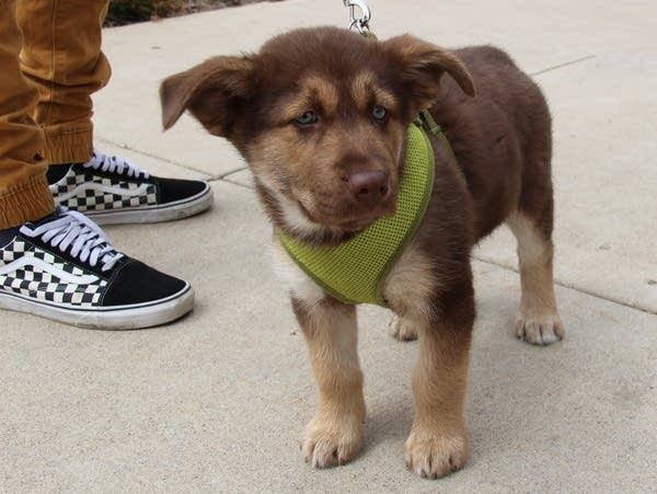A puppy mix waits with its owner in line to get vaccinations.