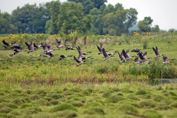 A flock of geese flew out of a marsh near Windom.