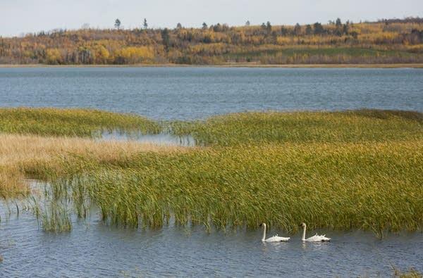 Swans swim on a manmade lake