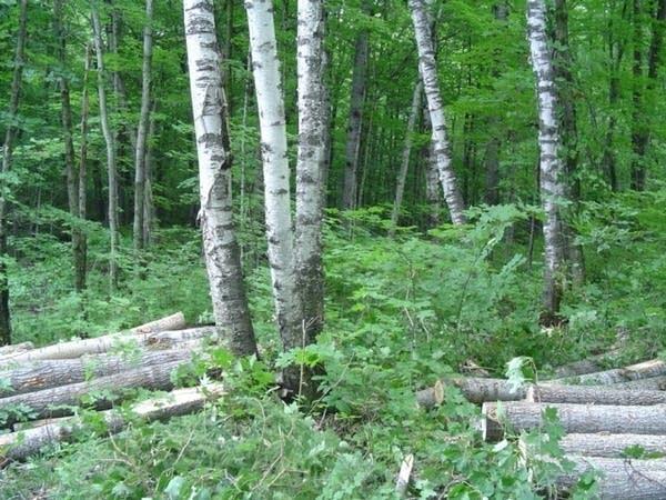 Sensitive birch