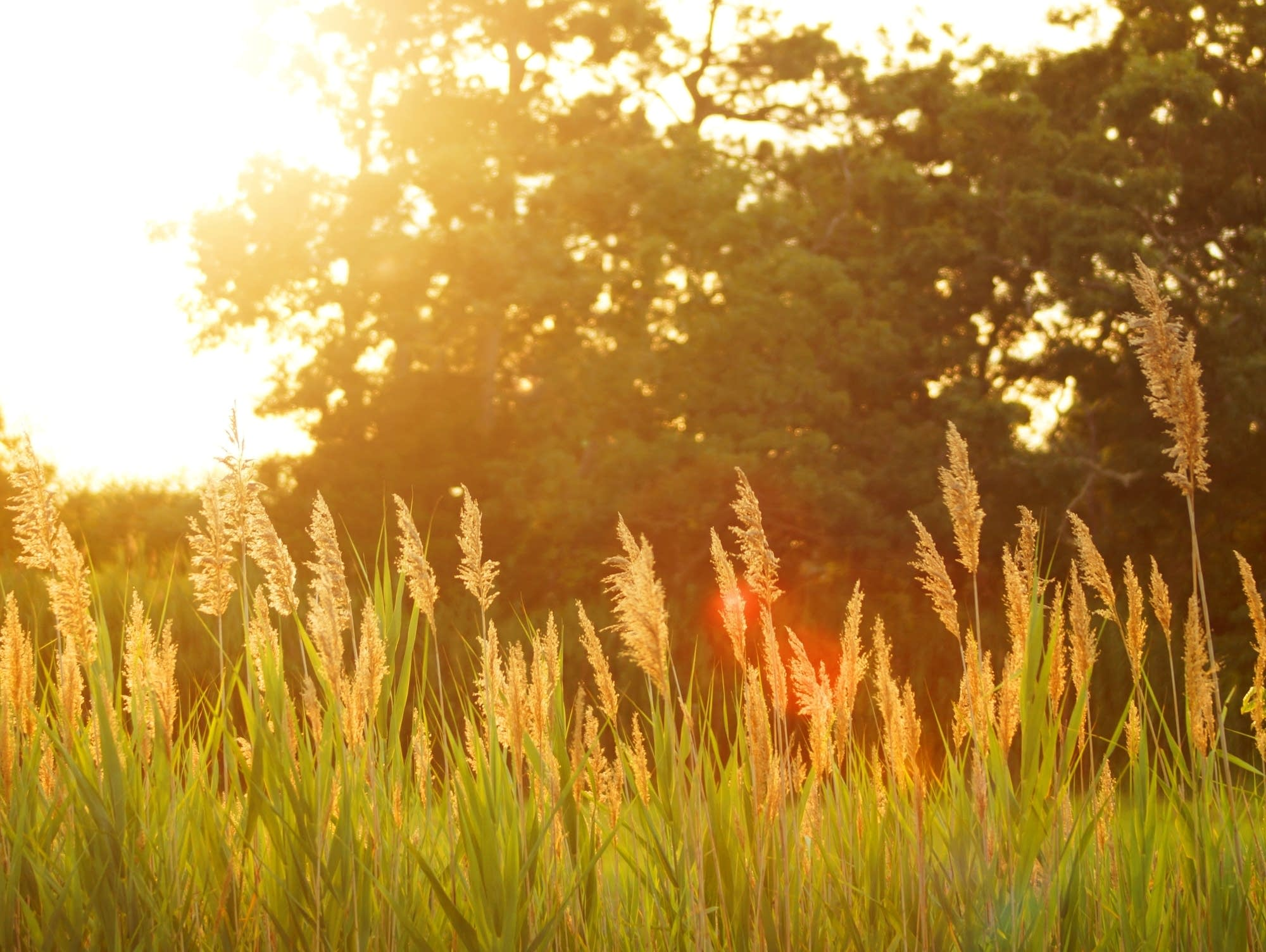 Field of tall grasses at sunset