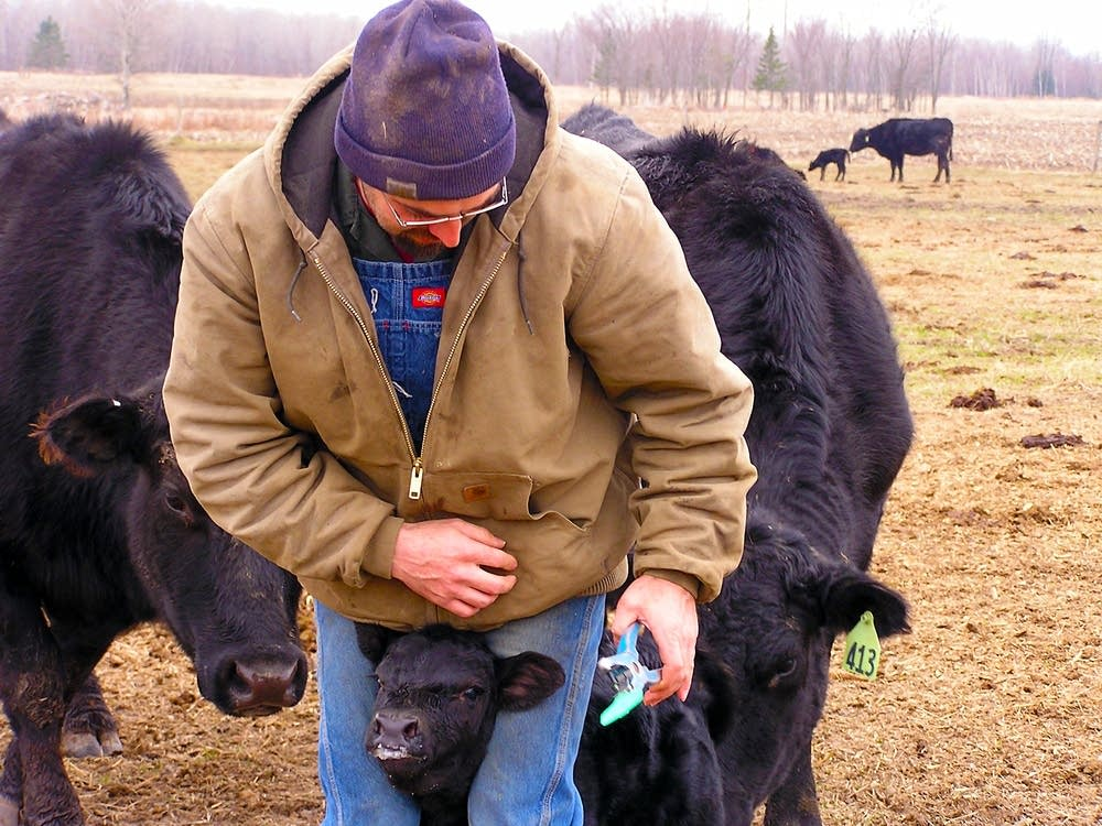 Tagging calves