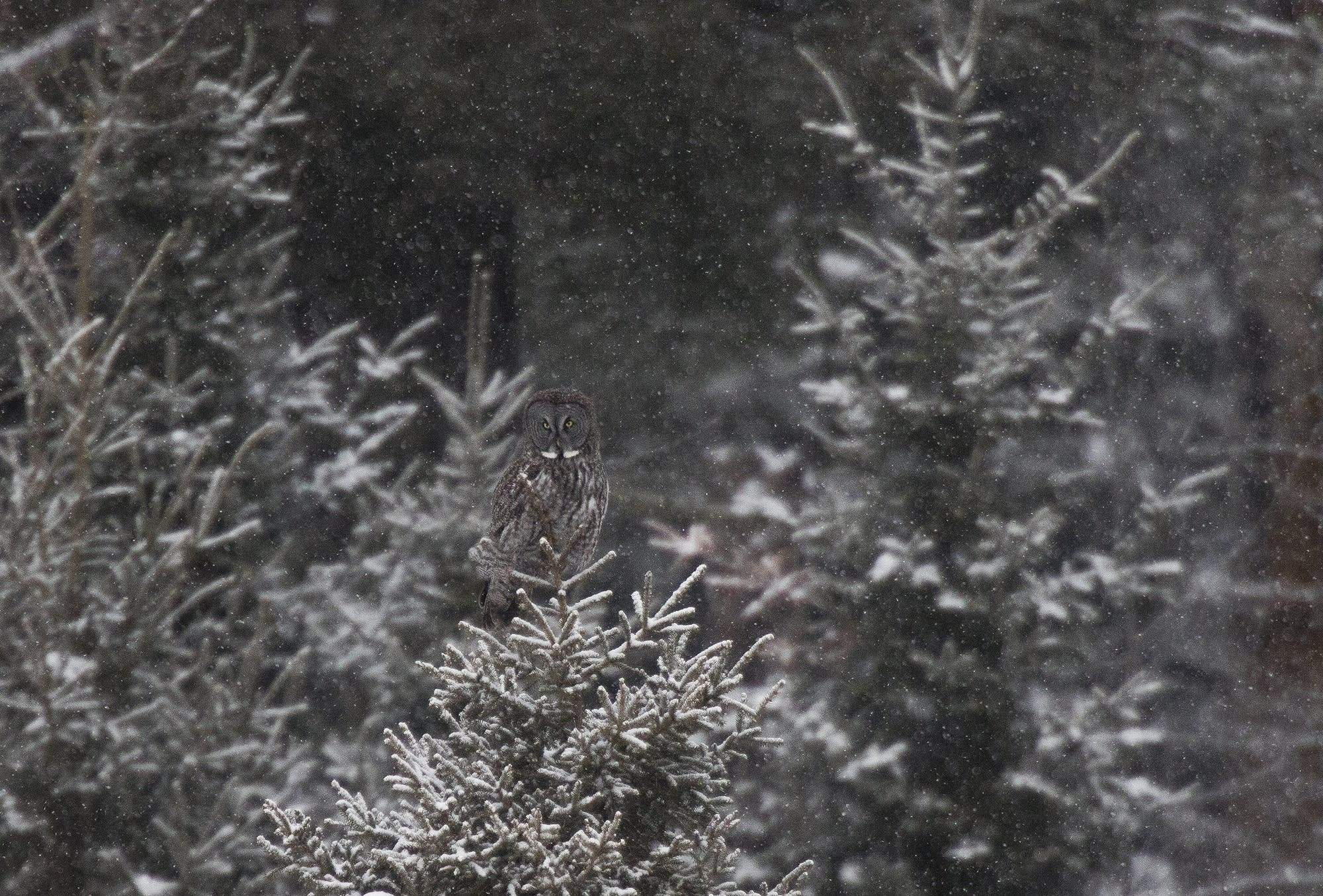A great grey owl sits atop a spruce tree north of Two Harbors.