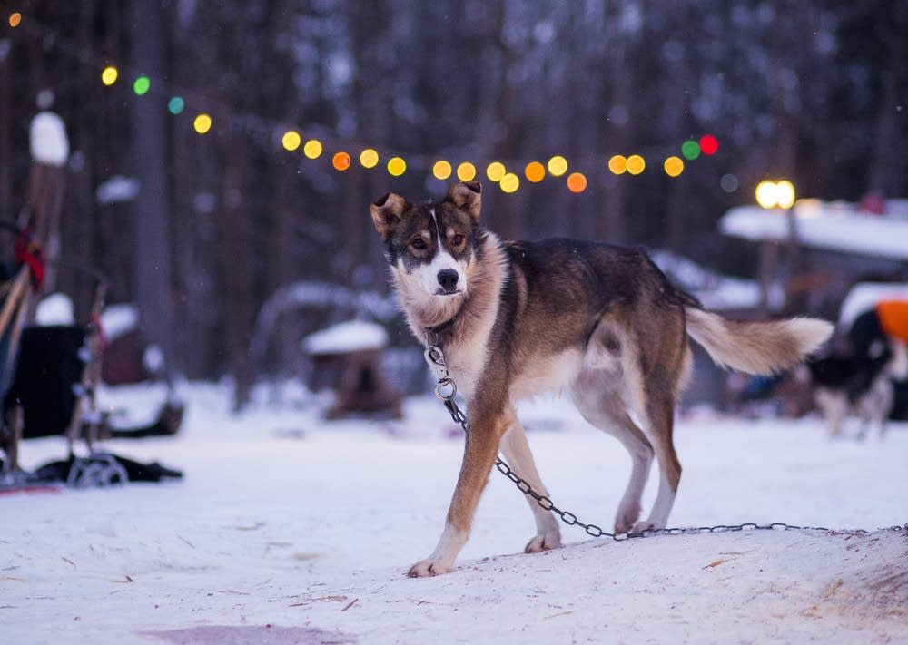 One of Colleen and Ward Wallin's sled dogs