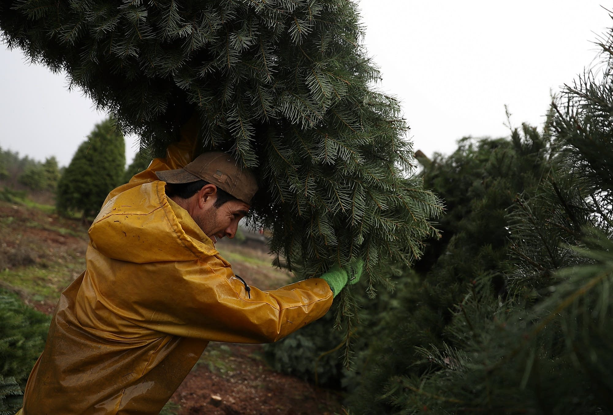 Oregon Christmas tree farm harvests trees