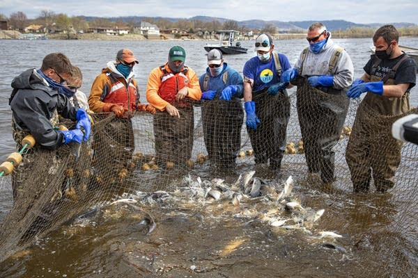 A group of people pulls a fishnet.