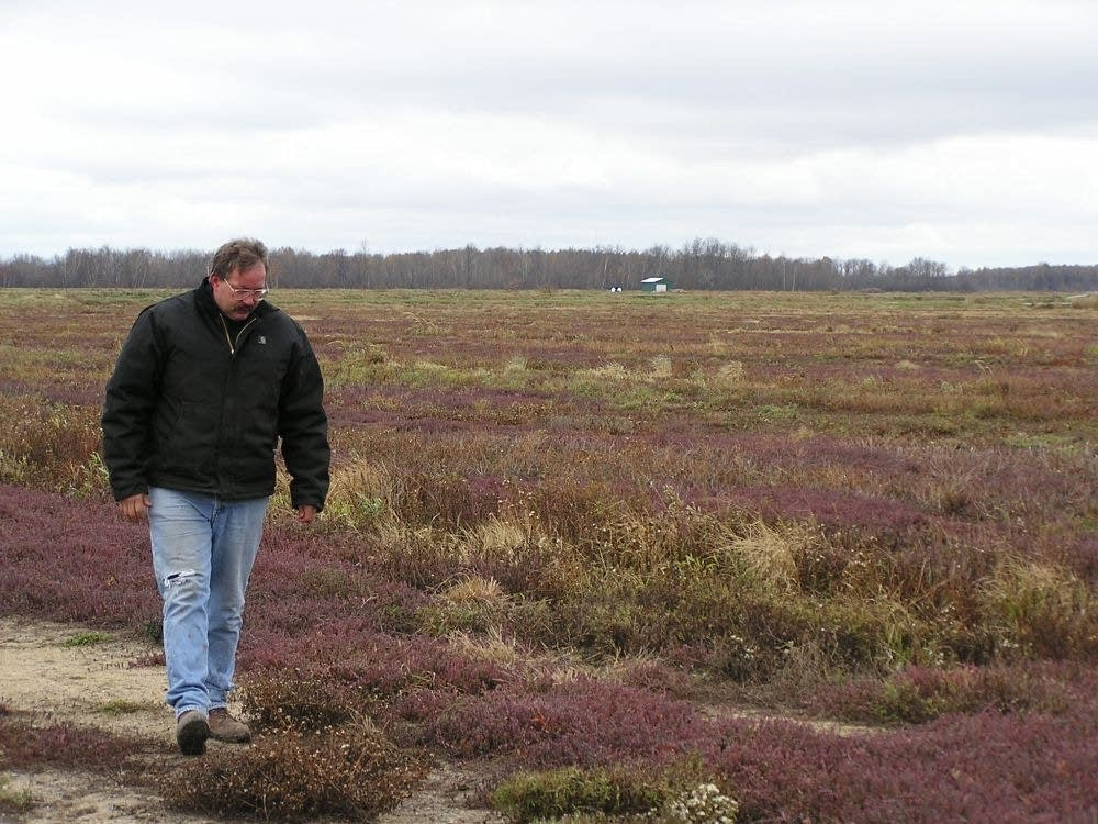 Walking the cranberry bog